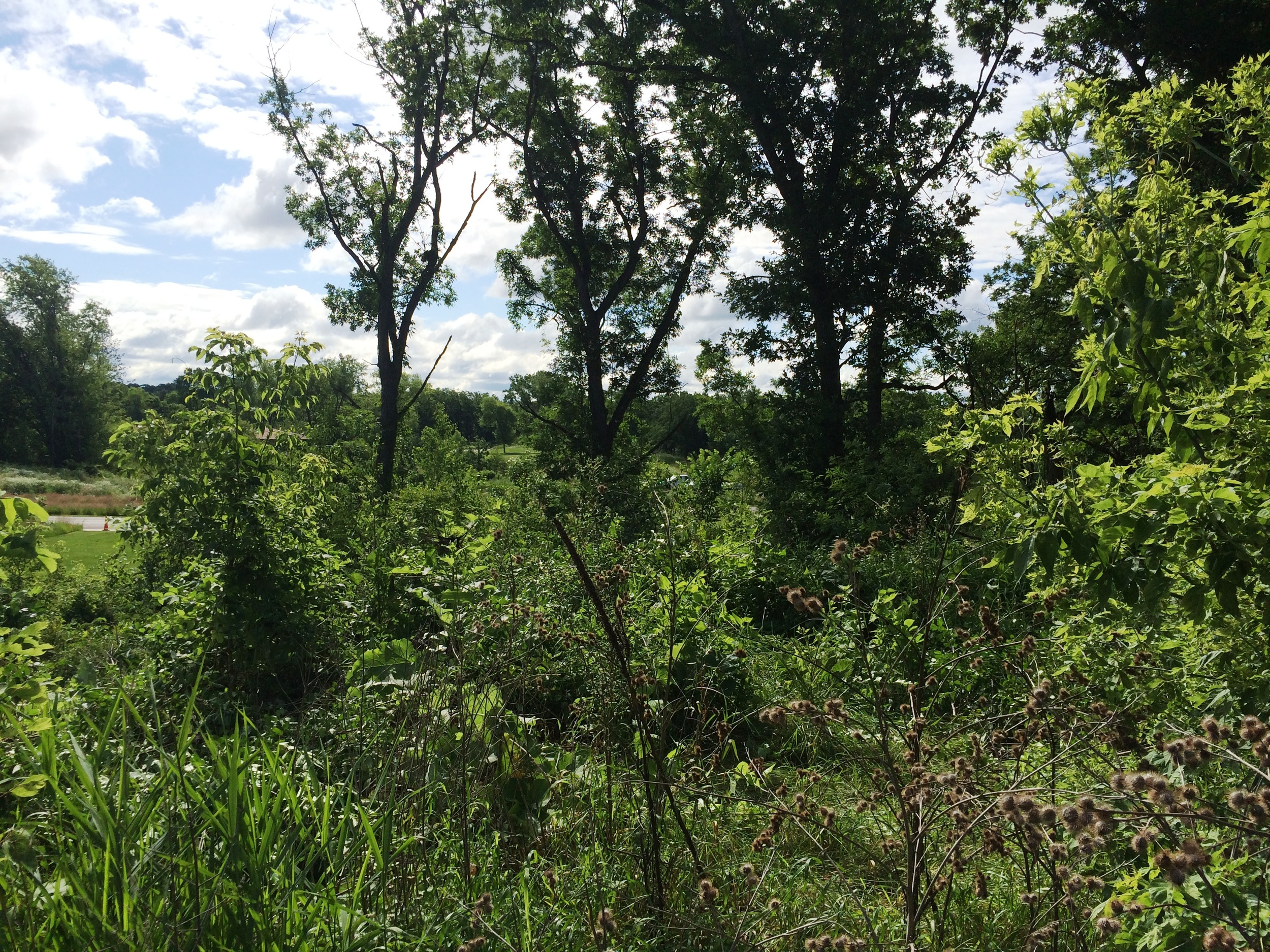 After buckthorn removal