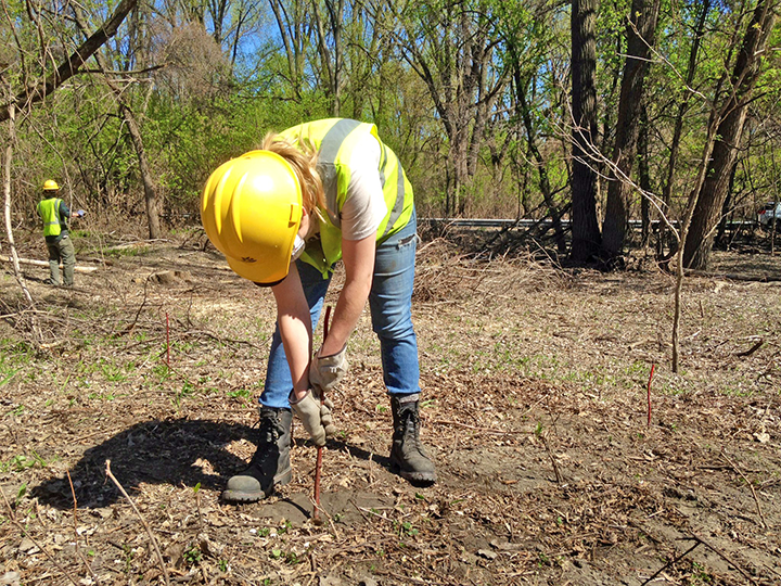 Youth Outdoors crew member planting Red Osier Dogwood live stakes in Lilydale Regional Park