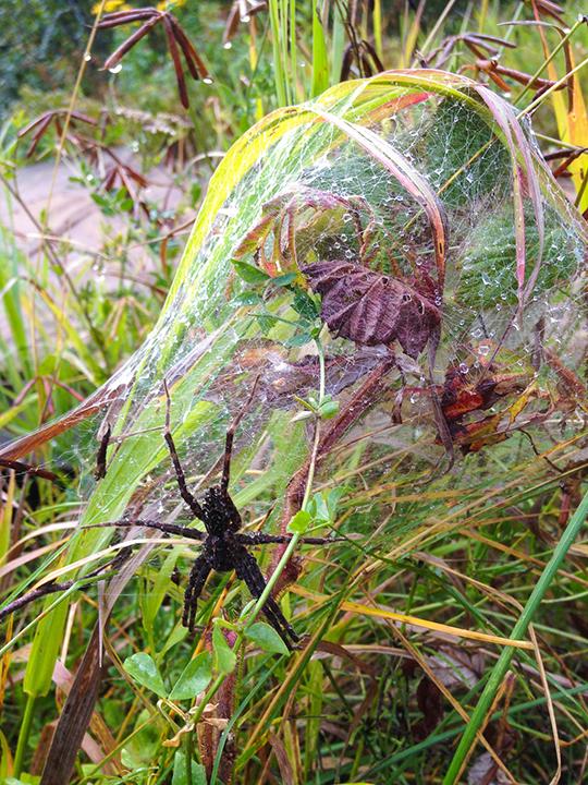Dark-fishing-spider,-Lusten,-MN.png