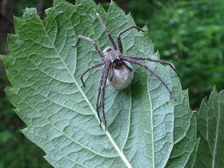 Nursery-web-spider-01,-Hidden-Falls.png
