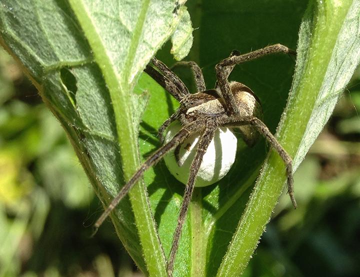 Nursery-web-spider-04,-Hidden-Falls.png