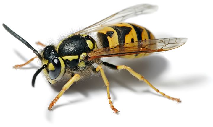 Yes, I know that yellow jackets are not bees; they are wasps.Enjoy! Image courtesy of wikipedia.