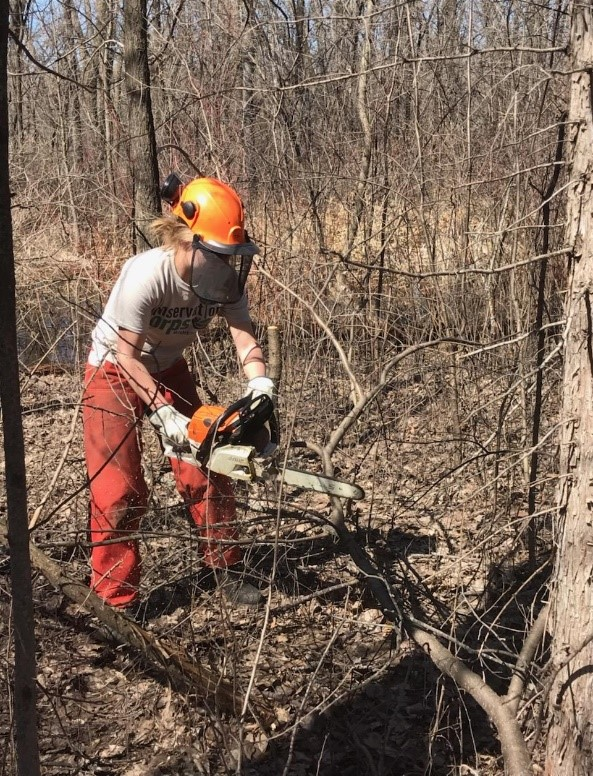 Conservation Corps crew member cutting up a large buckthorn stem with a chainsaw. Larger buckthorn must be cut into smaller pieces to be removed from a site.