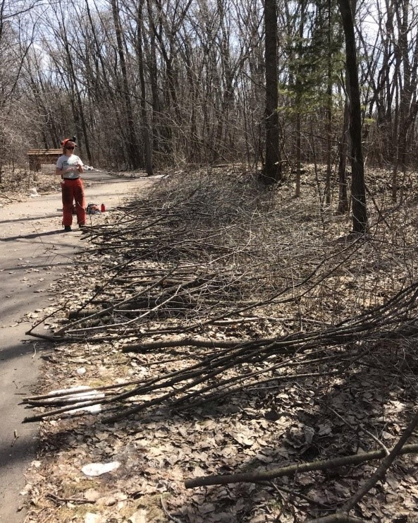 End product: Removed buckthorn piled along a trail for future removal, and a much clearer interior forest.
