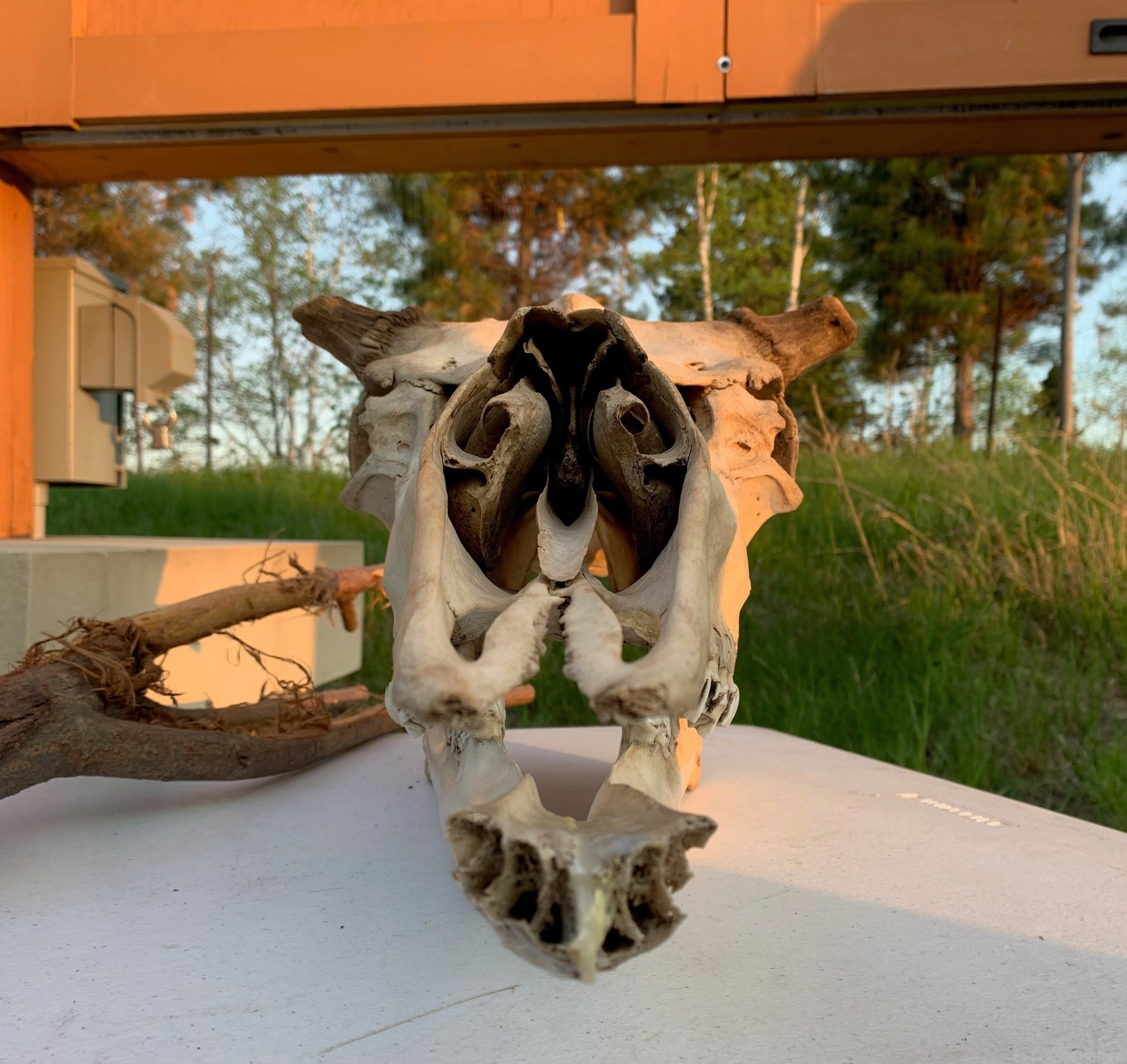 Moose Skull from Antlers, and the Animals that Wear Them program at Tettegouche State Park