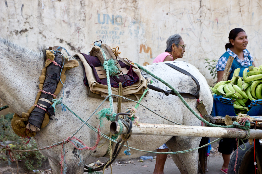 A horse tied and tethered for selling plantains