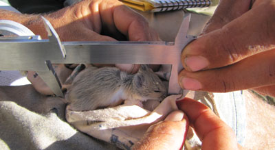 Data is collected on all of our mammal & marsupial catches.