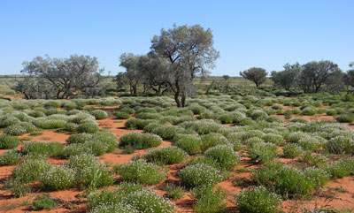 The lush north eastern Simpson Desert after record rainfall, 2010.