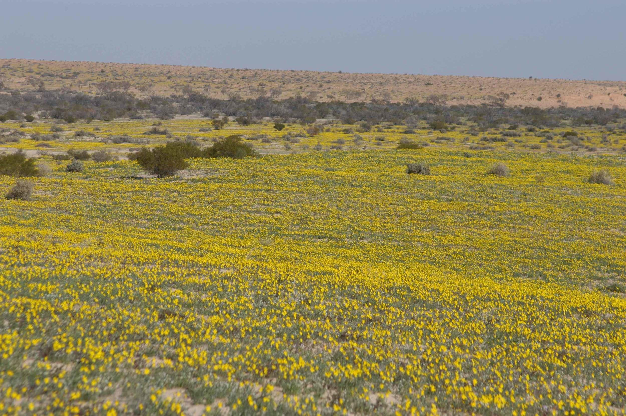 The yellow desert, 2007.