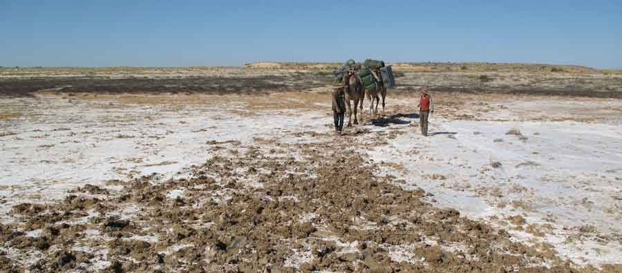Leading the camels across the muddy Kallakoopah Creek.