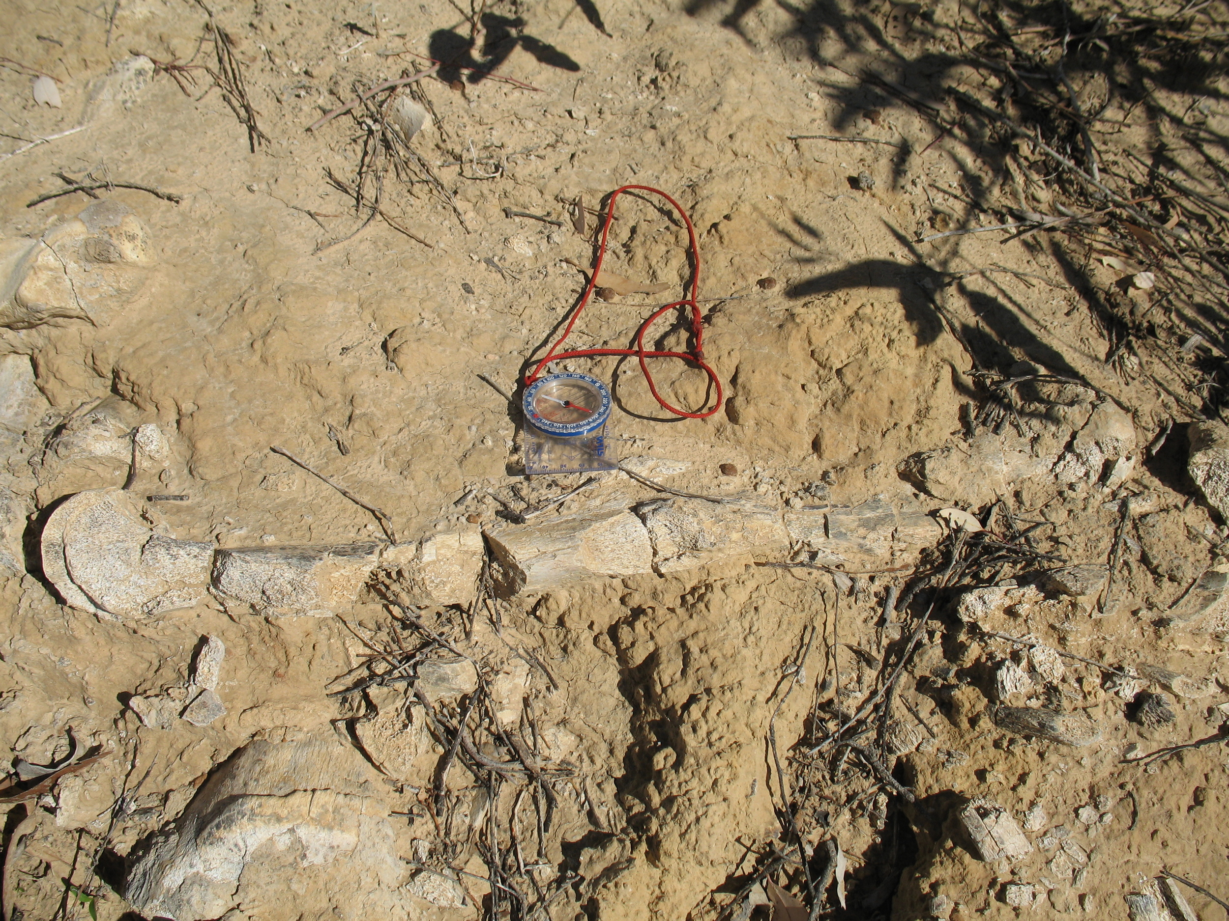 Megafauna fossil.
