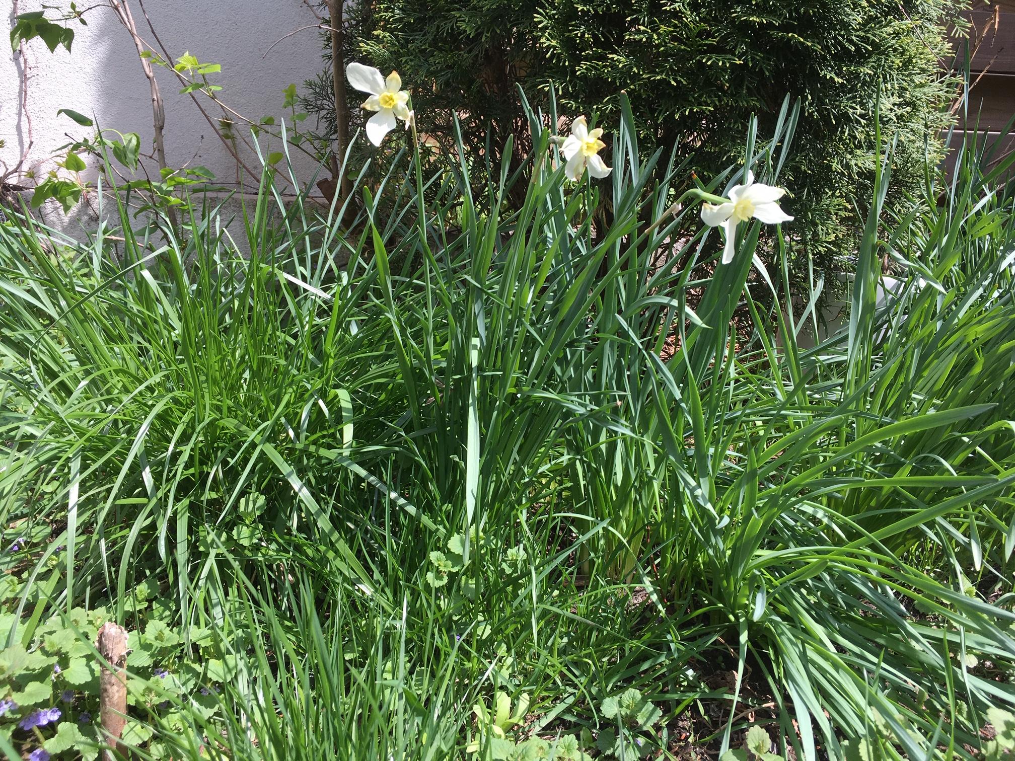spring.narcissus.JPG