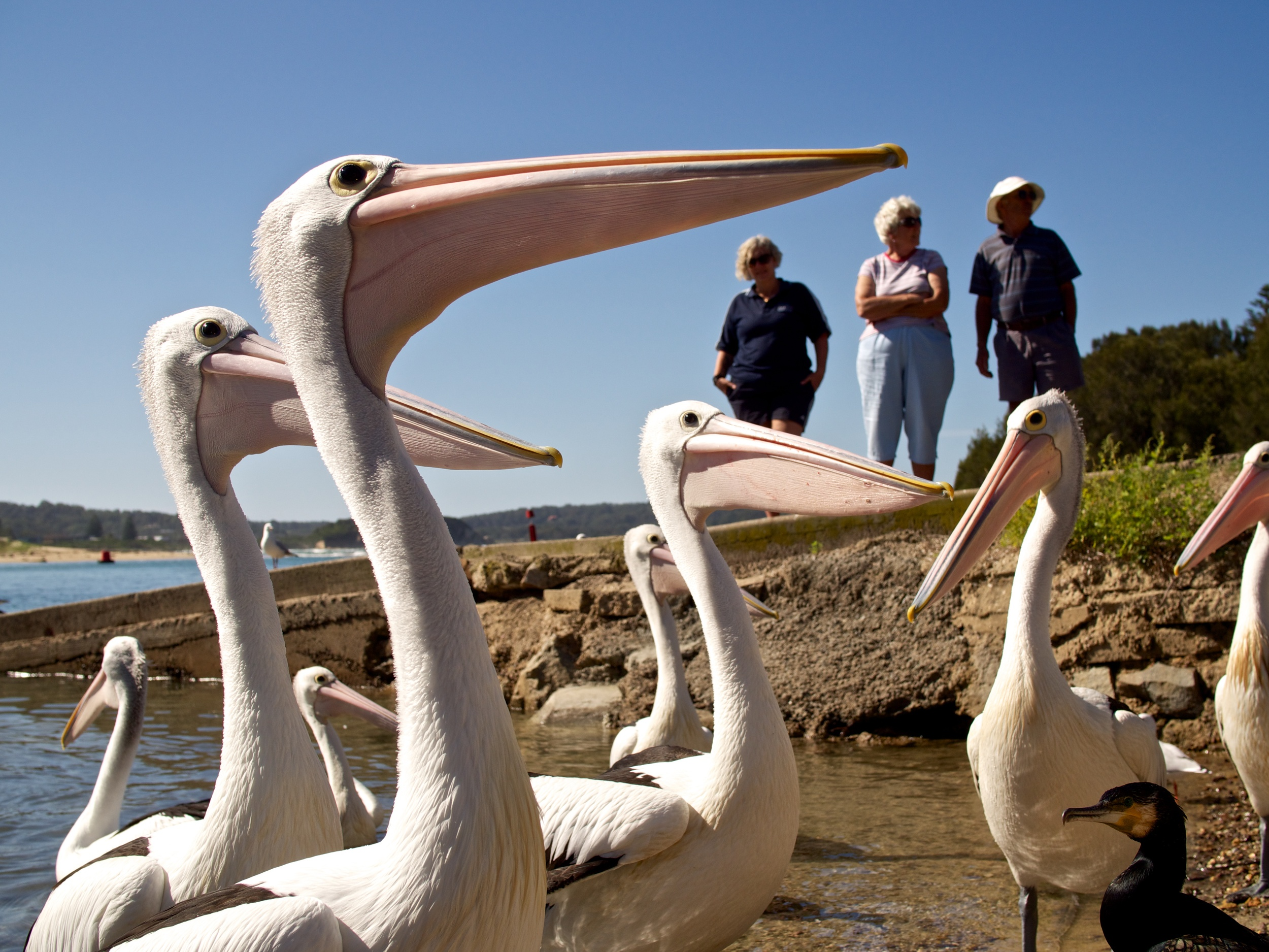 Pelicans waiting for a snack