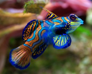 Mandarinfish-300x242.jpg