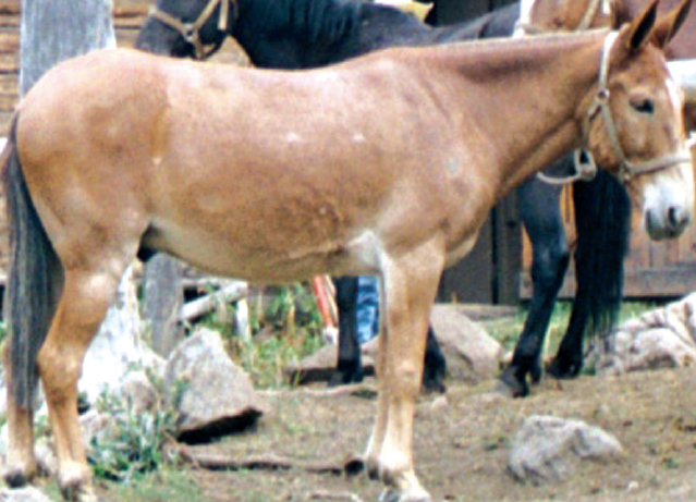 Typical Mule back which requires a Mule tree because of the straighter bars.