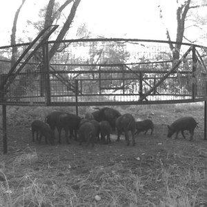 hogs-under-trapLR.jpg