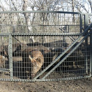 trapped-hogs2LR.jpg