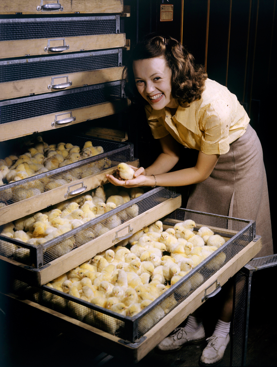Smiling young woman holds chick above chicken-filled incubator drawer in Arkansas, July 1944.  PHOTOGRAPH BY B. ANTHONY STEWART, NATIONAL GEOGRAPHIC