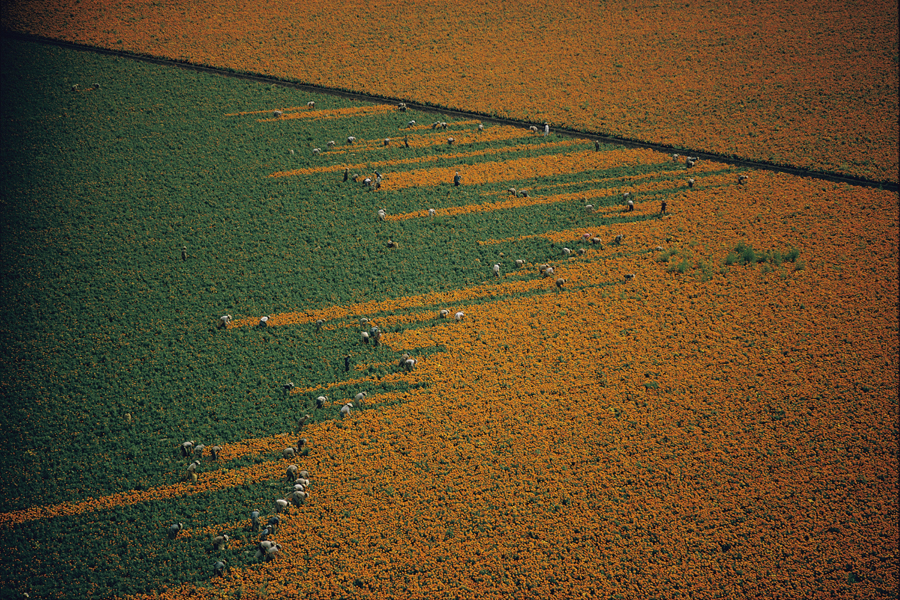 A field turns from orange to green as harvesters pick marigold flowers in Los Mochis, Mexico, 1967.  PHOTOGRAPH BY W.E. GARRETT, NATIONAL GEOGRAPHIC