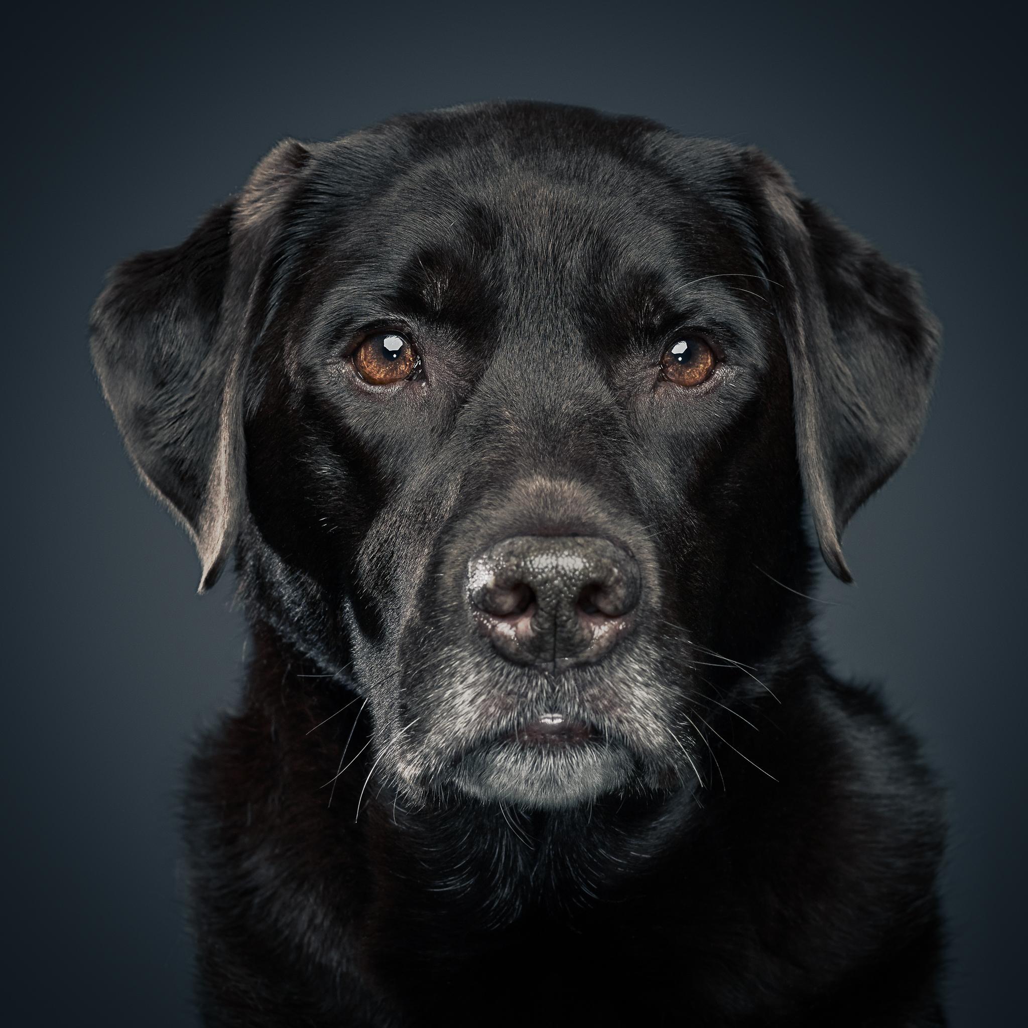 klaus-dyba-dog-photography-labrador
