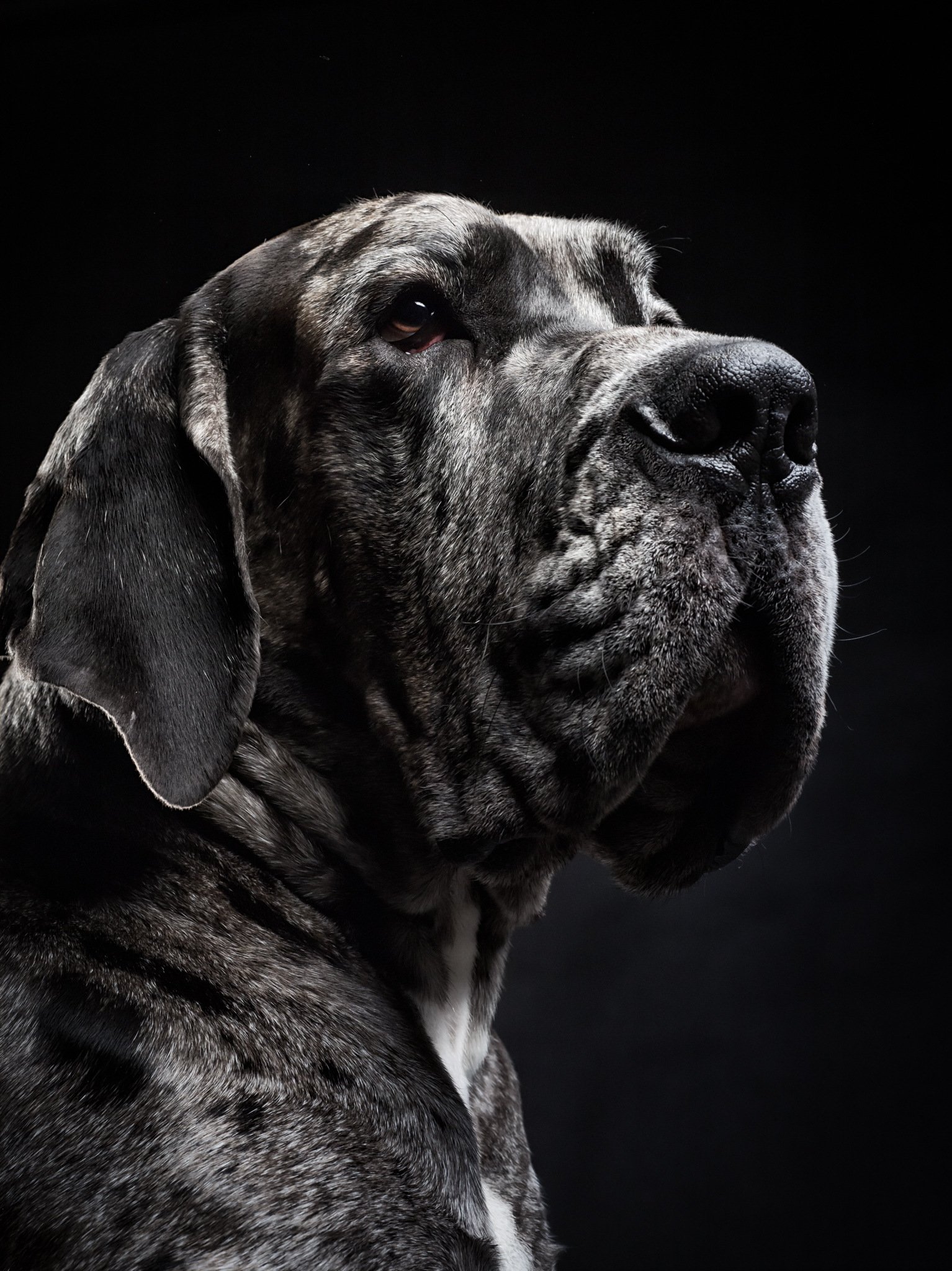 klaus-dyba-dog-photography-great-dane