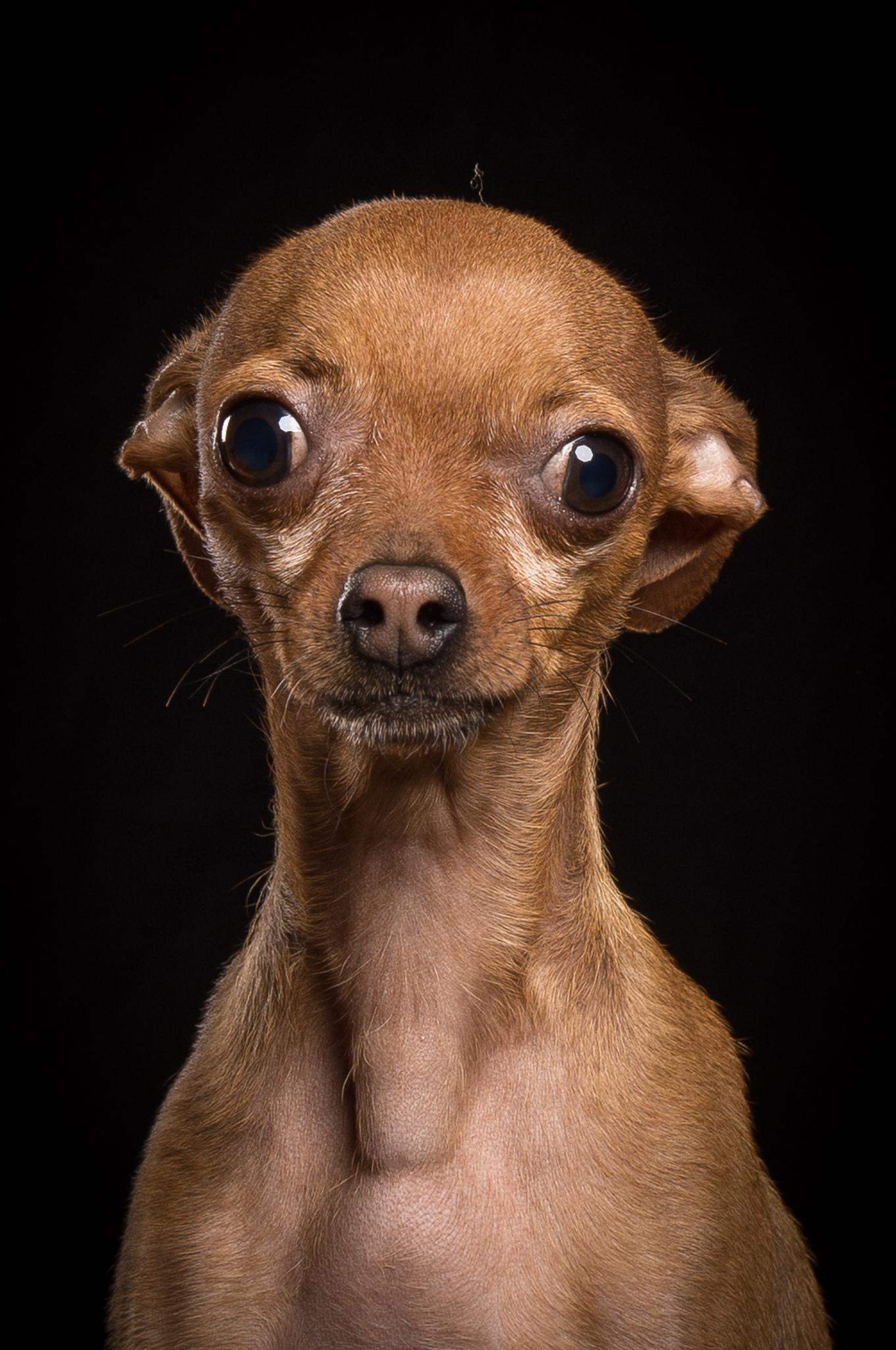 klaus-dyba-dog-photography-chihuahua