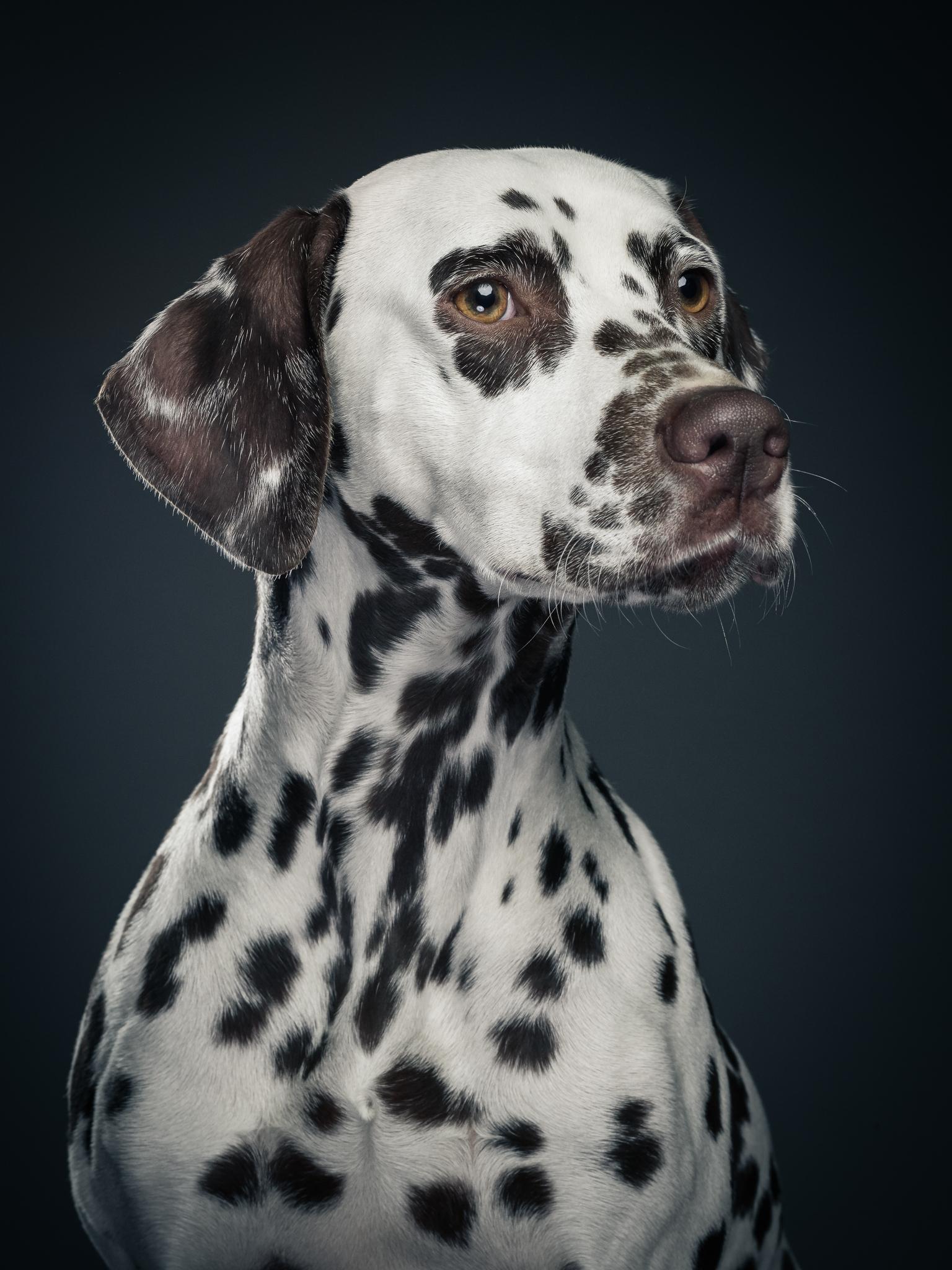 klaus-dyba-dog-photography-dalmatiner