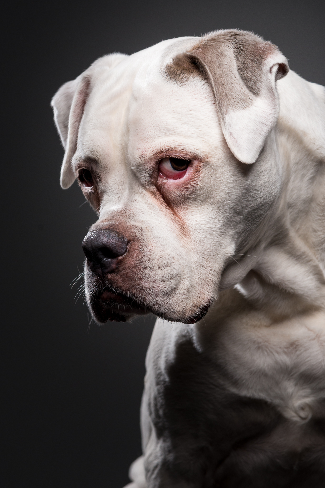 klaus-dyba-dog-photography-american-pitbull
