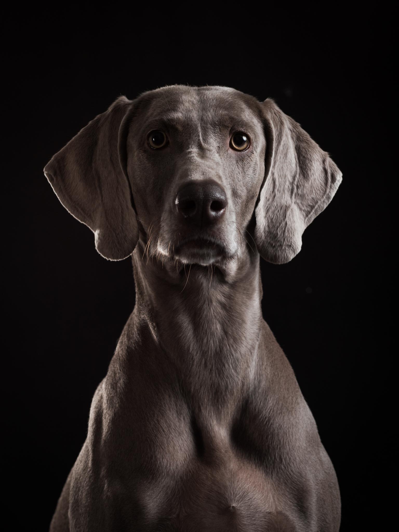 klaus-dyba-dog-photography-weimaraner