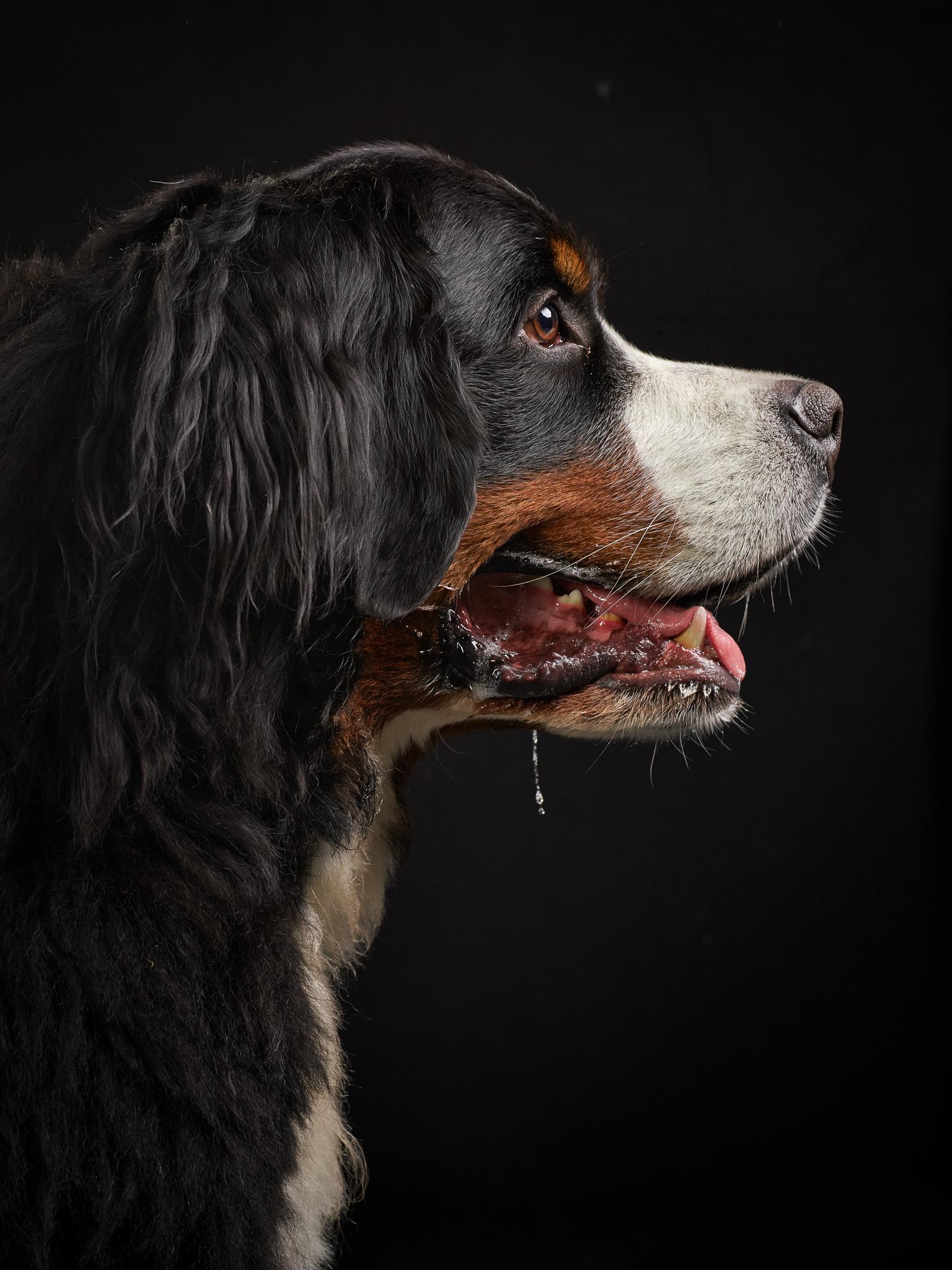 klaus-dyba-dog-photography-bernasennen