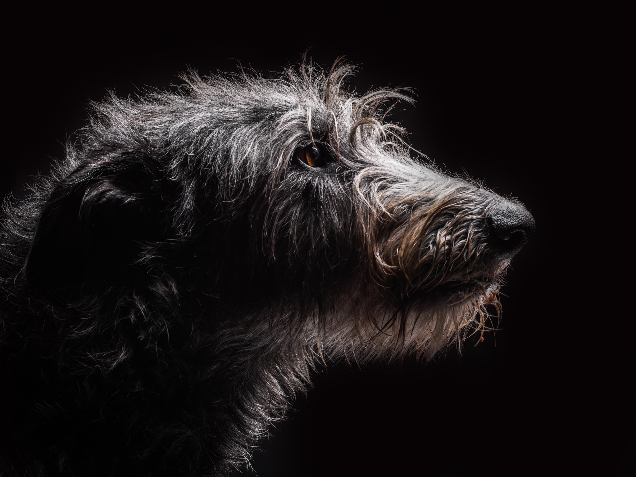 klaus-dyba-dog-photography-irish-wolfhound