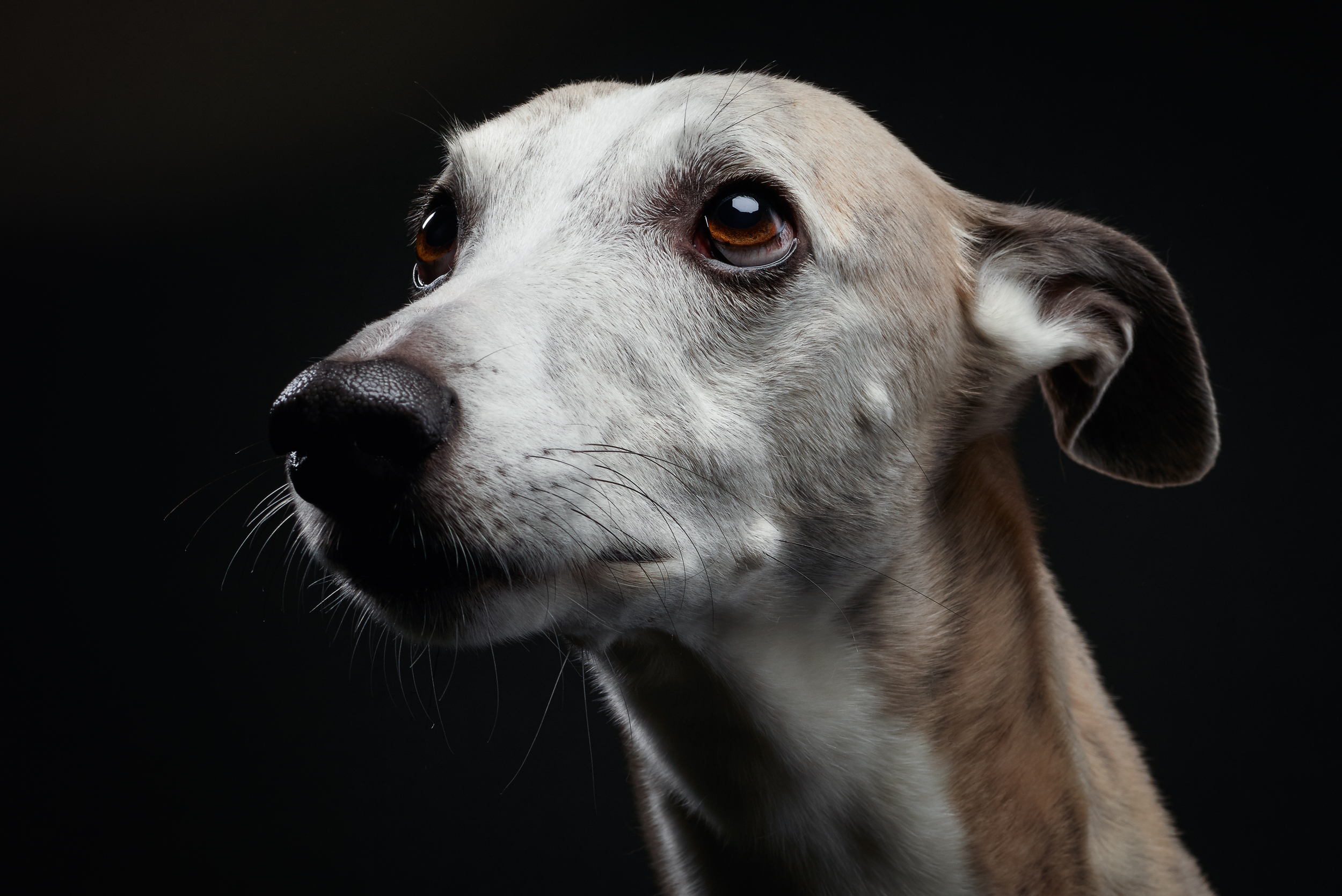 Beau Jaques, one of the most calm down whippets I ever met. This shooting happened one day before his tumor operation on his left hip. He is a strong one and after many complications he was back on track.