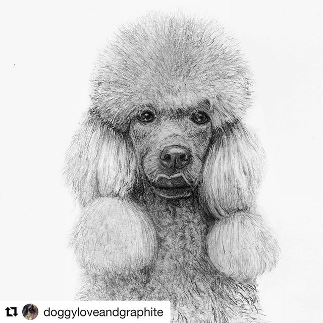 Thank you! 👌#Repost @doggyloveandgraphite with @repostapp ・・・ Antonia.  Reference from the amazing @klausdyba  #poodle #standardpoodle #graphite #dog  #dogart #illustration