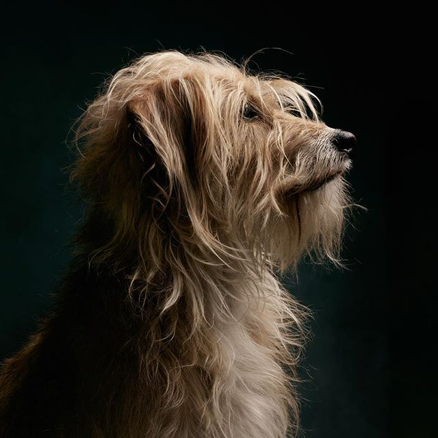 A closer look of Polly. #dogsofcologne #belgischesviertel #hundefotografie #dogphotography #cologne @gravitybackdrops #hunde #rescuedogs @phaseonephoto #captureonepro #terriermix #hundefotografie