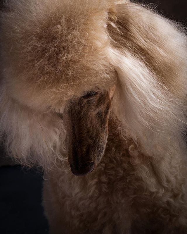 Desty the majestic #standardpoodle girl. #standardpoodlesofinstagram #hundefotografie #loftstudiocologne #dogphotography #dogsofinstaworld @dogsofinstagram #hunde #königspudel #pudel #cologne #belgischesviertel #kölnerhundefotografie #portraitphotography #dogstagram