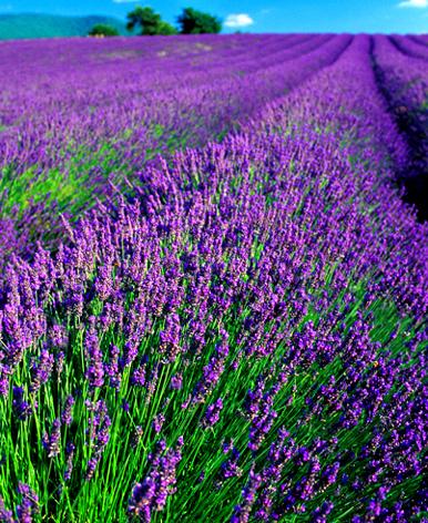 lavender_field.jpg