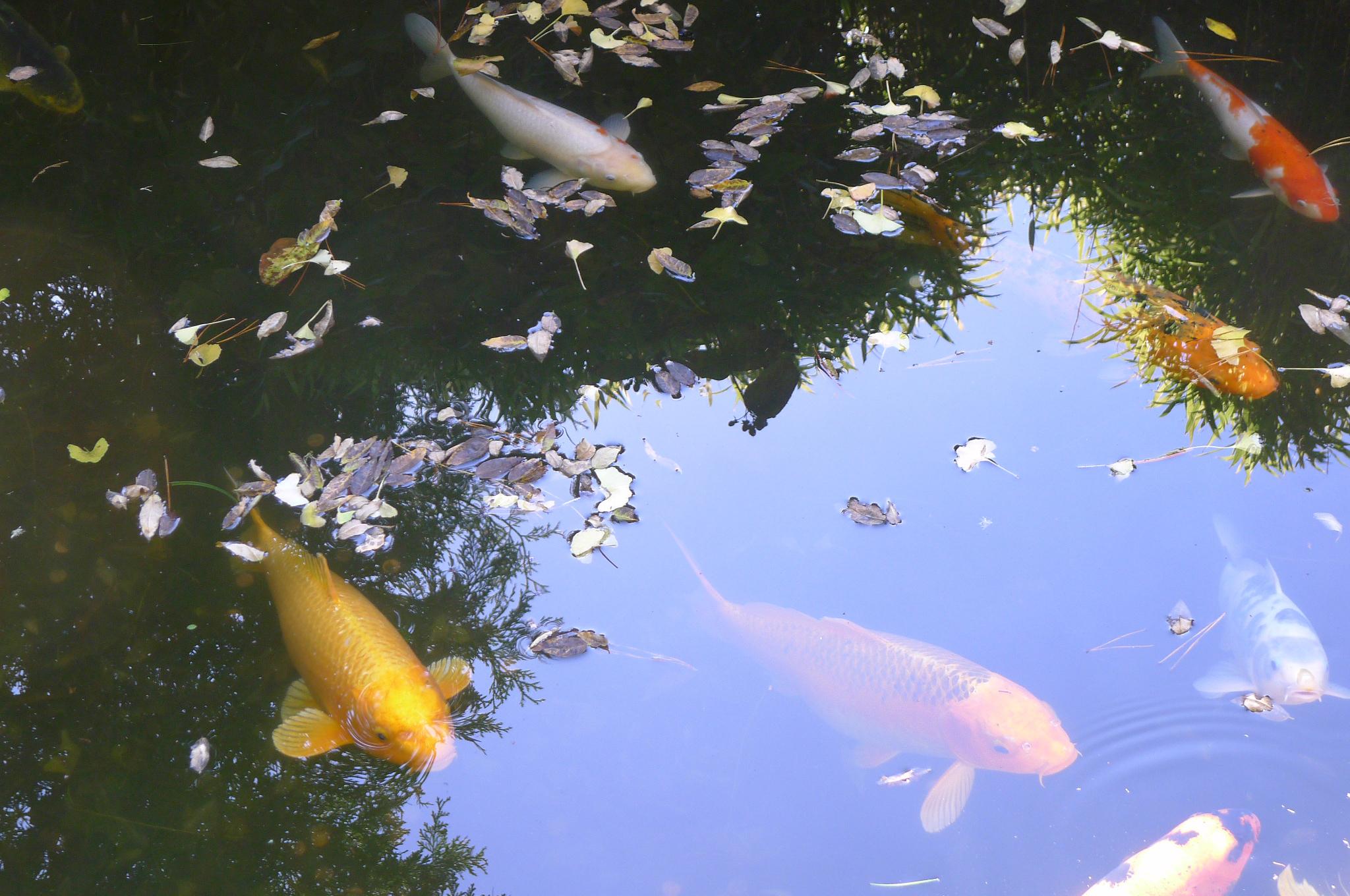 tea-garden-fish.jpg