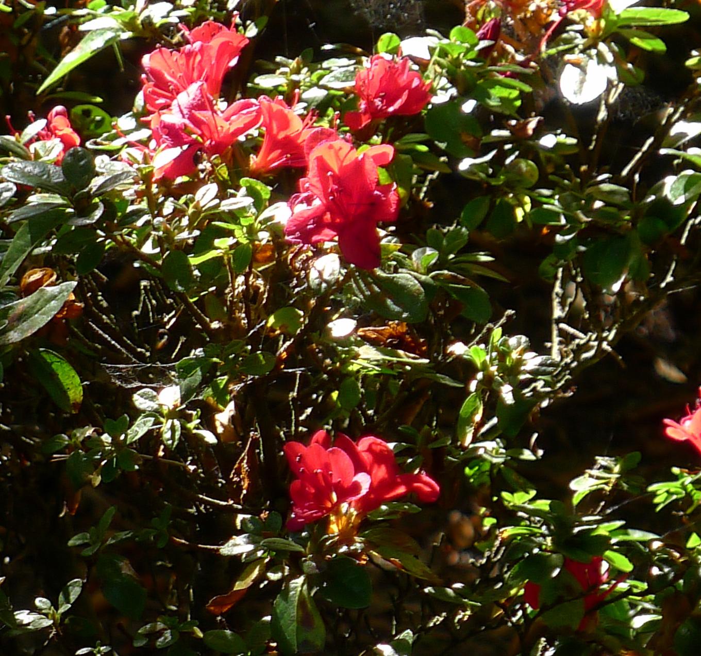 tea-garden-pink-flowers.jpg