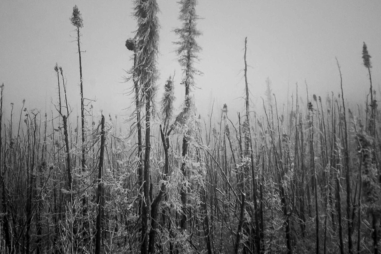 Arctic Black Spruce