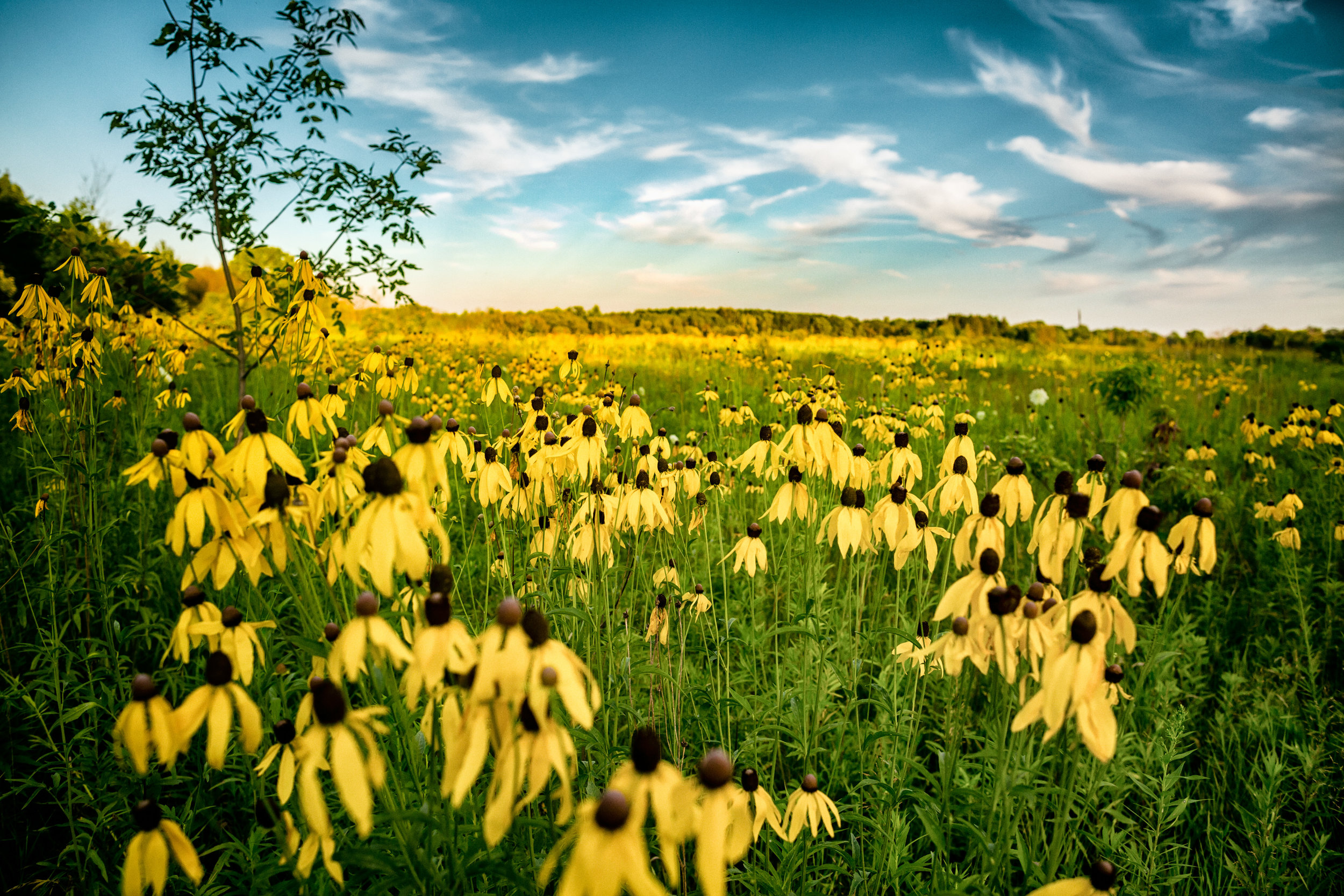 black eye susan sunset_1.jpg