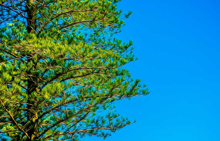 The Great Norfolk Pine, what memories