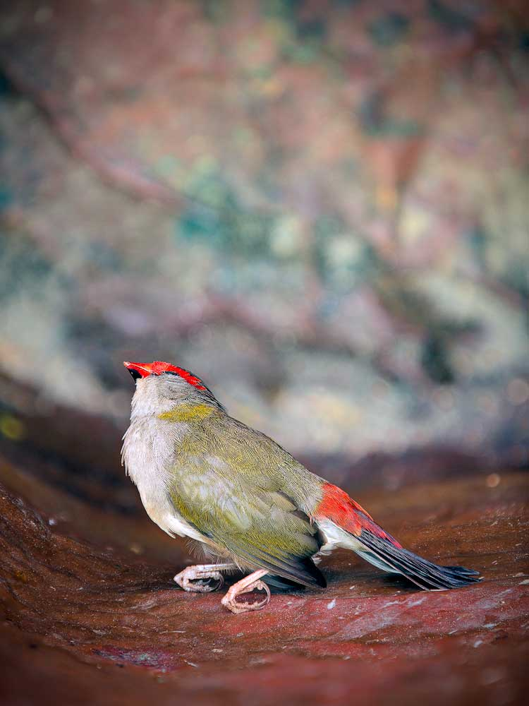 The Red-Browed Finch