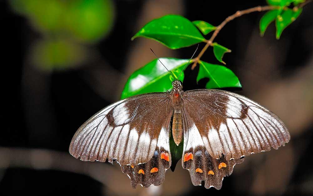 Female Orchard Swallowtail - 5D Mk III, ISO 200, F2.8, 1/320, Flash
