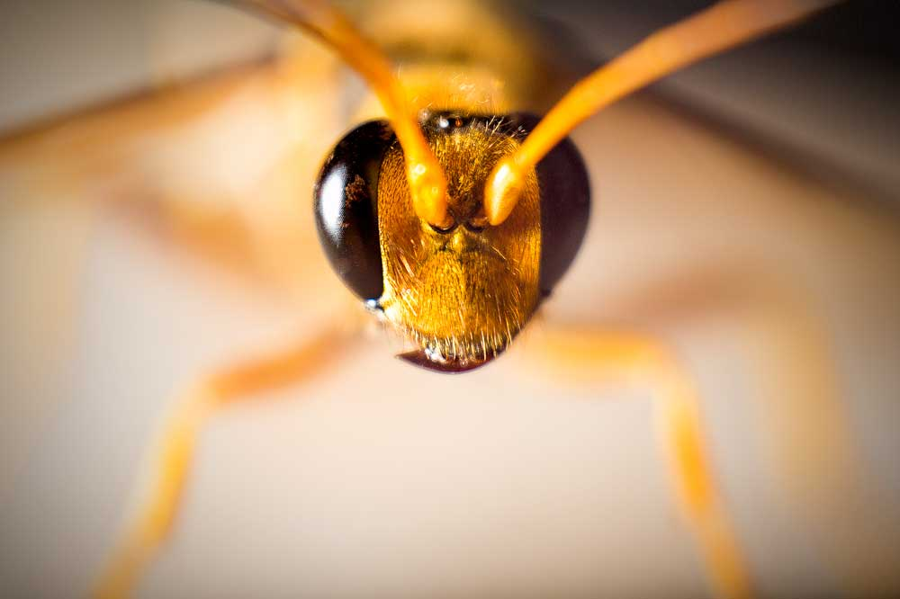 Wasp, 5D Mk III ISO 200, F4, 1/200 16-35 mm 'Reversed' to give a macro look