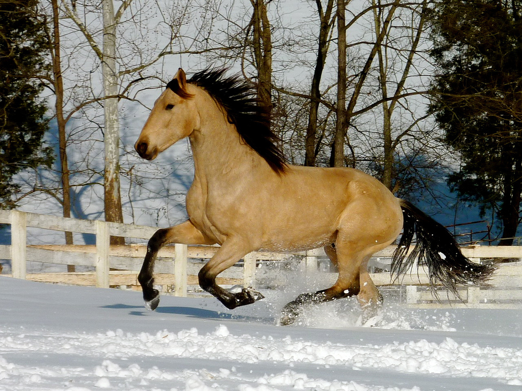 Xanto, December 2009 (photo by Jenni Johnson of JC Andalusians)