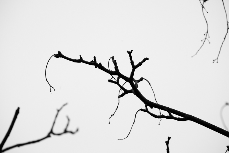close up branches bw
