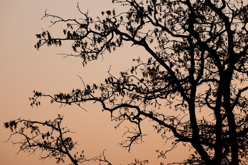 sunset tree 401