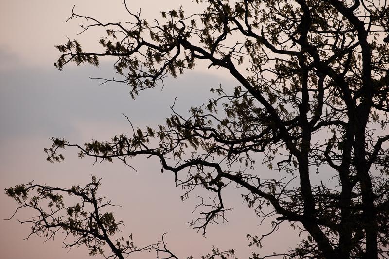 sunset tree 402