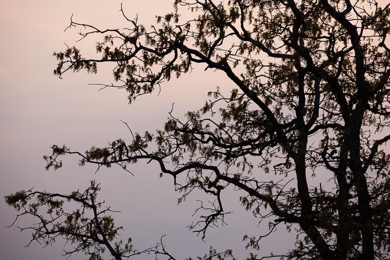 sunset tree 403