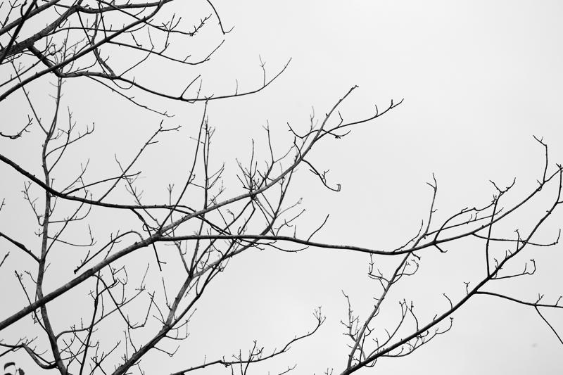 bare tree bw 511